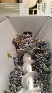 winemakers destemming grapes