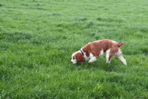dog smelling grass